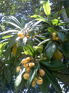 Loquats are almost all seed, with sweet. bland flesh.